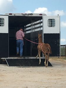 man leading foal into horse trailer