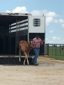 man leading foal out of the trailer