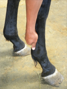 person picking up horse's hoof