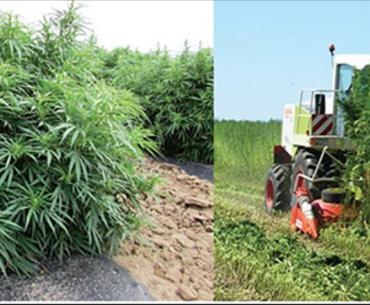 Hemp plants in field