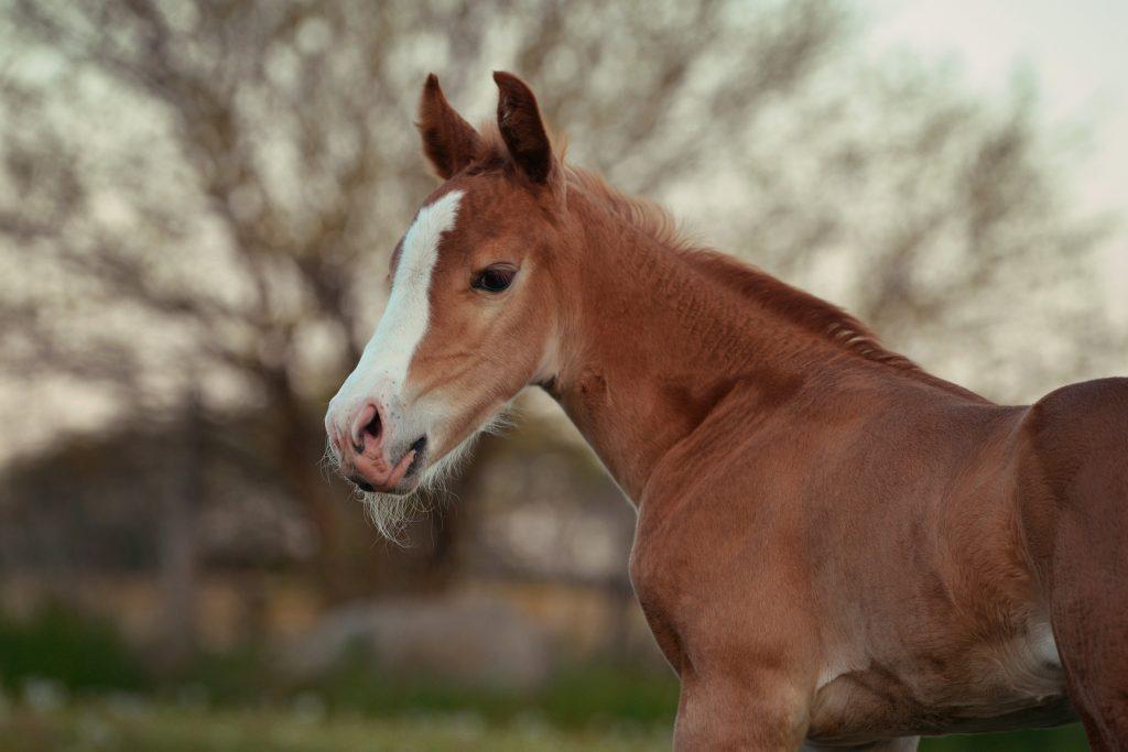 Young sorrel foal