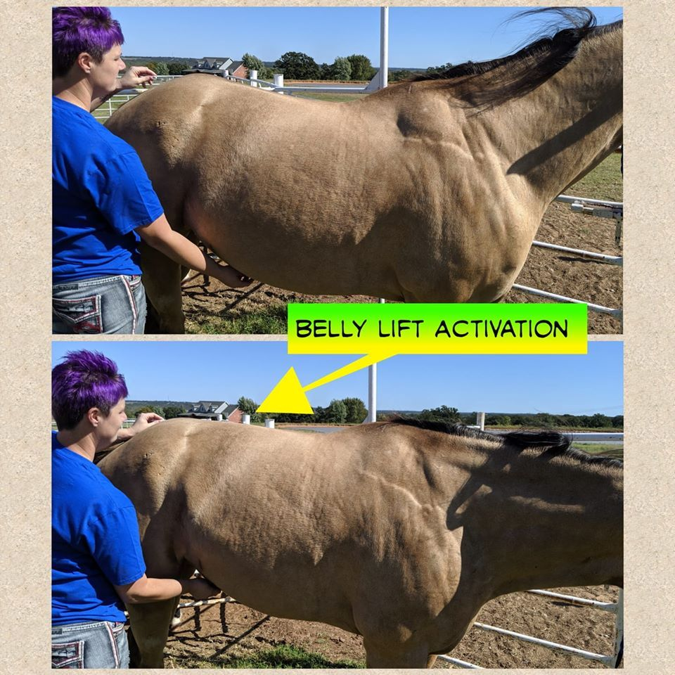 equine rehab specialist performing a belly lift stretch to increase a horse's fitness