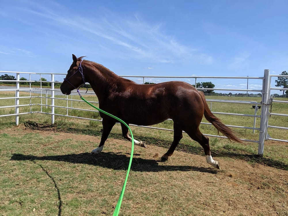 horse exercising by lungeing as part of their fitness routine