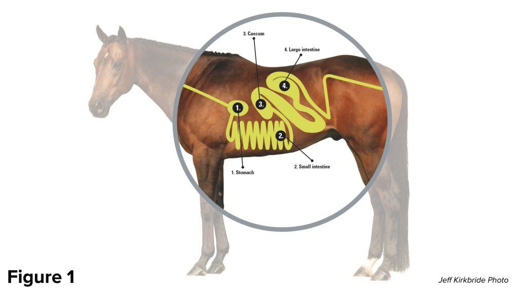 equine digestive system diagram