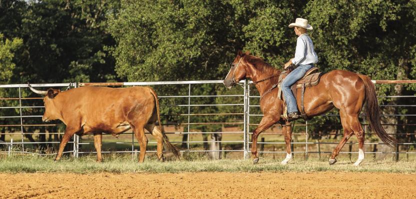 girl tracking steer on horse
