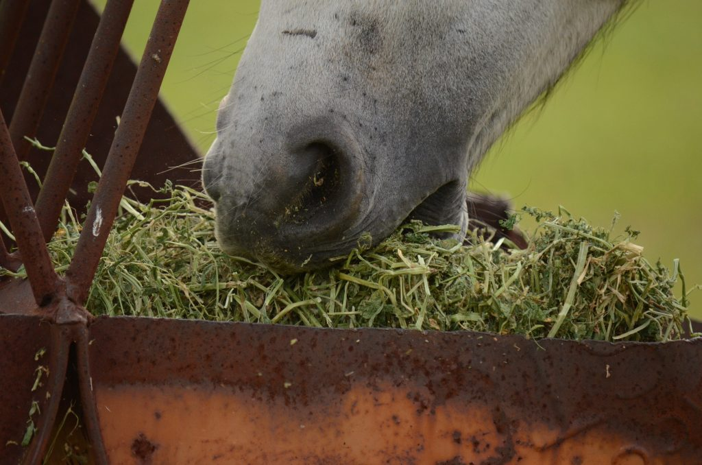 horse chewing hay