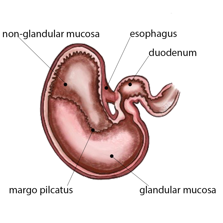 equine stomach diagram