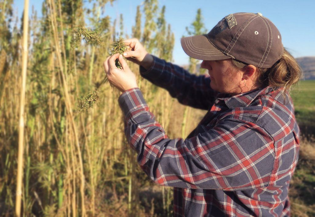A type of cannabis, hemp crops are used to make most CBD products.