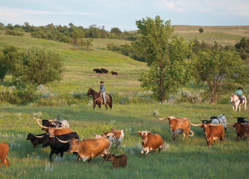 Sampsons moving a Texas Longhorn herd.
