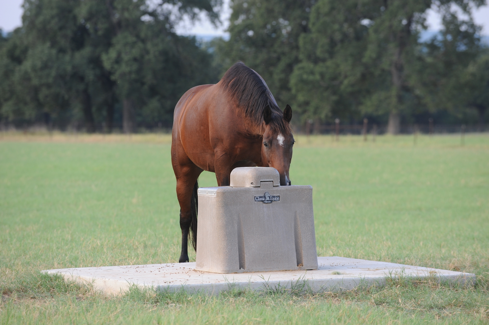 horse drinking from waterer